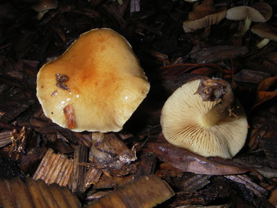 Agrocybe précoce