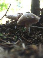 agaricus_silvicola_018