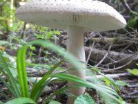 amanita_echinocephala_001
