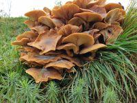 armillaria_mellea_030