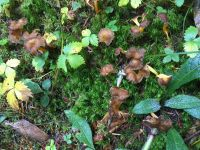 cantharellus_lutescens_008