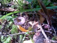cantharellus_xanthopus_019
