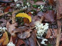 clavulina_coralloides_014