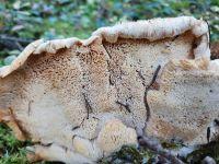 climacocystis_borealis_020