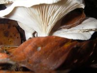 clitocybe_candicans_010