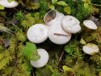 clitocybe_candicans_017