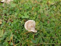 clitocybe_dealbata_024