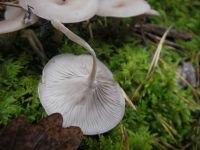 clitocybe_fragrans_010