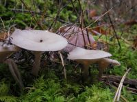clitocybe_fragrans_012