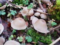 clitocybe_fragrans_026