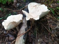 clitocybe_geotropa_032