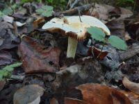 collybia_maculata_023