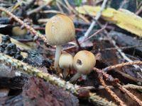 coprinellus_micaceus_051