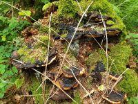 gloeophyllum_odoratum_021