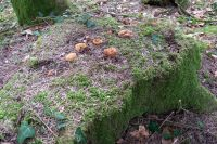gloeophyllum_odoratum_027