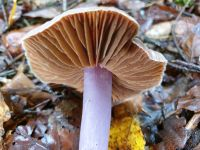 inocybe_geophylla-lilacea_033