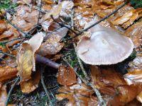 inocybe_geophylla-lilacea_039