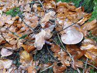 inocybe_geophylla-lilacea_041