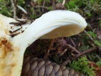 lactarius_pubescens_019
