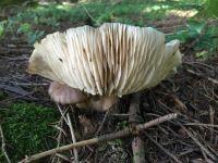 megacollybia_platyphylla_029
