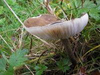 megacollybia_platyphylla_031