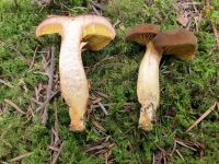 phylloporus_rhodoxanthus_024