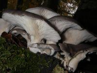 pleurotus_ostreatus_011