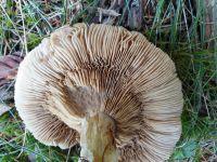 rozites_caperatus_064
