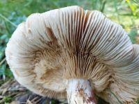 rozites_caperatus_066