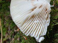 russula_heterophylla_020