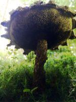 strobilomyces_strobilaceus_023