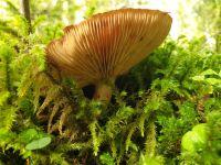 tricholoma_albobrunneum_023