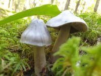 tricholoma_portentosum_014