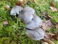 tricholoma_portentosum_022