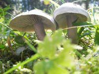 tricholoma_saponaceum_017