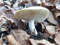 tricholoma_scalpturatum_013